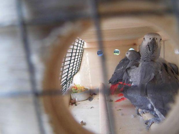 папагали Жако