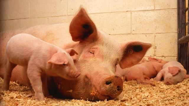 В свинефермата в Голямо Враново е започнало поетапно населване на 500 животни