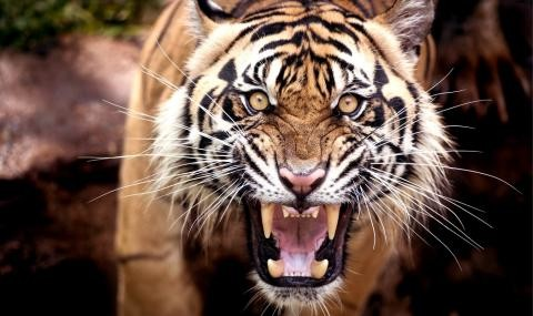 Атланта: Избягала тигрица напада, сее ужас по улиците