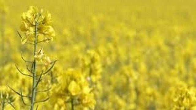 На вниманието на пчеларите - в община Белене ще третират рапица против вредители