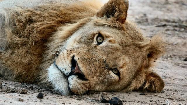 Прокуратурата разследва кой тормози лъва Любо в разградския зоокът