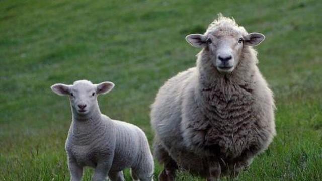 Отпускат 3,5 млн. лева помощ за реализация на родното производство на агнешко месо