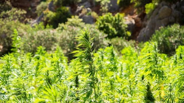 Полицаи разкриха домашна оранжерия за марихуана в с. Бъзън