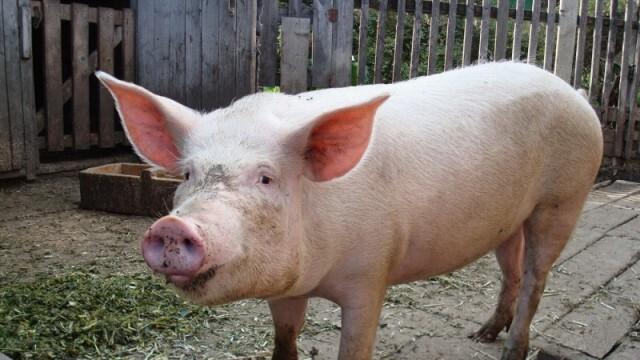 Фермите задоволяват едва 40 % от потреблението на свинско в страната