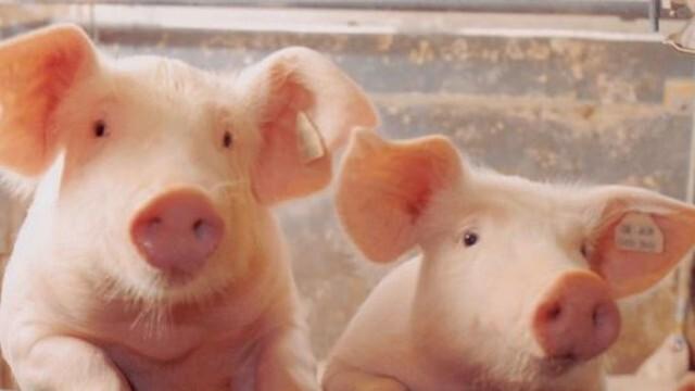 Започва кандидатстването на фермери по схема за хуманно отношение към свинете