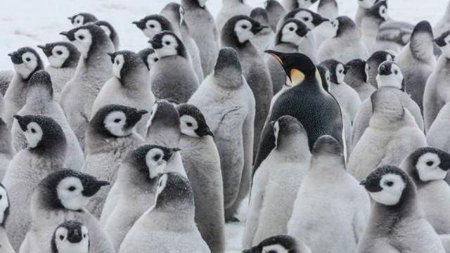 Има ли по-очарователна птица от пингвина?