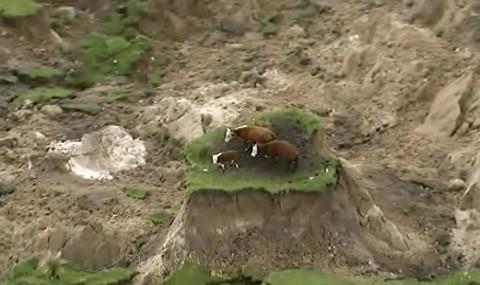 Спасиха трите крави блокирани на островче след земетресението в Нова Зеландия /ВИДЕО/
