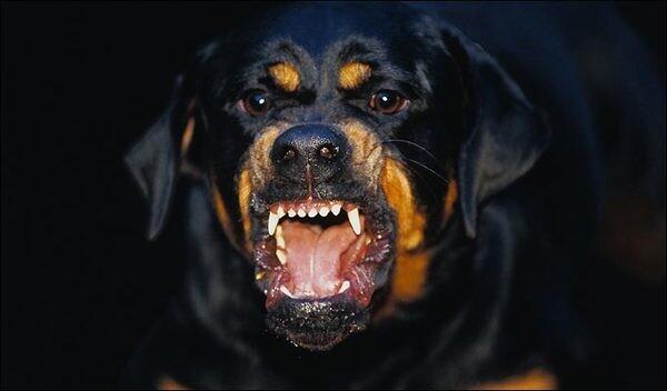 Ротвайлер нападна стопанката си, полицай стреля по агресивния пес, за да я спаси