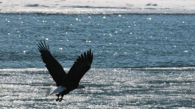 Невероятно! Орел, сграбчи акула и прелетя над плаж, пълен с хора (ВИДЕО)