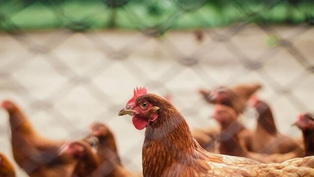 Птицевъди с подозрения за внос на месо със съмнително качество