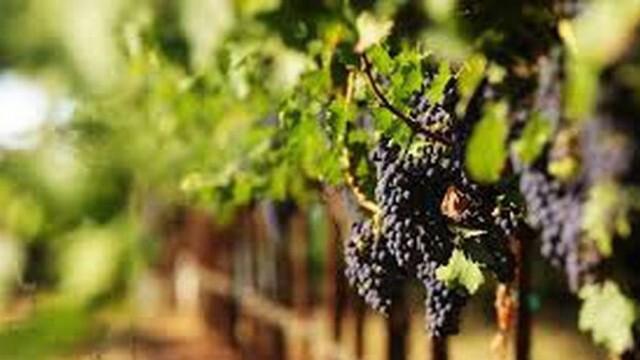 От 4 май започва прием по мярката за застраховане на реколтата за производителите на винено грозде