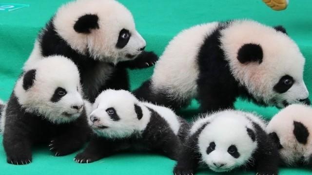 Толкова сладко: бебета панди се показаха за първи път пред  публика