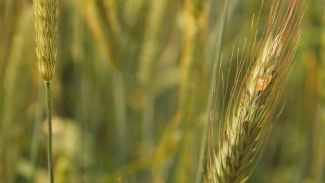 Подхранват площи с пшеница в землището на Плевен