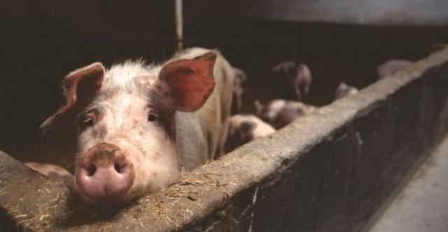 Потвърдиха ново огнище на африканска чума по свинете в Плевенско
