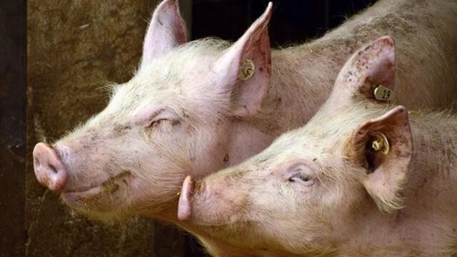 Седем общини в Русенска област с облекчаване на ограниченията при производството на свине и свинско