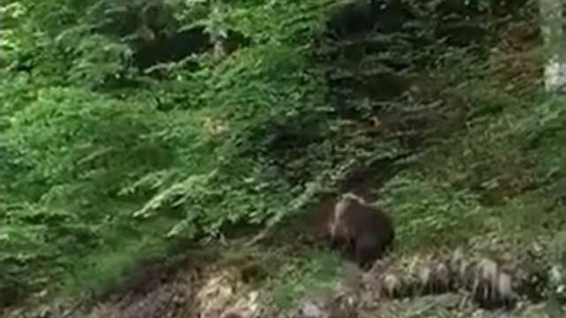 Вижте как мечка и 2 мечета пресичат пътя под Рилския манастир (Видео)