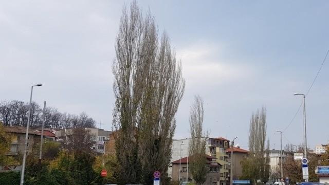 Затварят временно отсечки от две улици в Плевен заради планирано отсичане на дървета