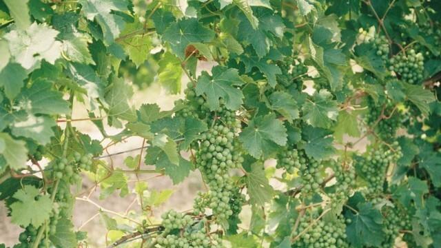"""От 17 май започва прием по кризисната мярка за лозарите """"Събиране на реколтата на зелено"""""""