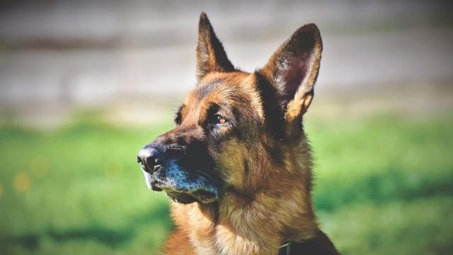 Британски специалисти обучават кучета да откриват заразени с коронавирус