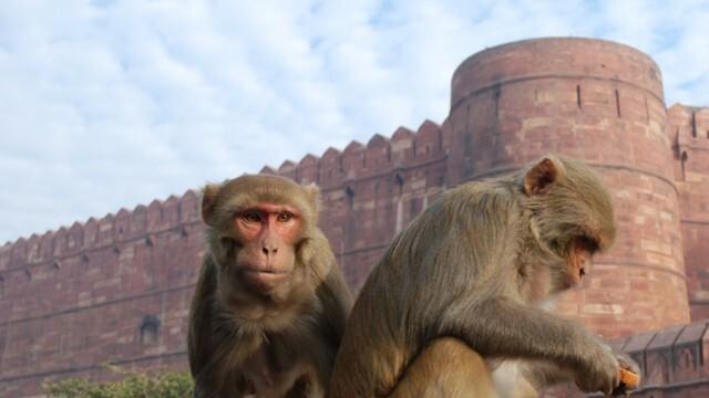 Маймуни убиха съпругата на политически лидер в Индия