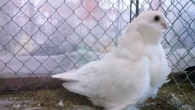 Гълъбовъд от Долни Дъбник участва в Европейско изложение на Китайски гълъби в Германия